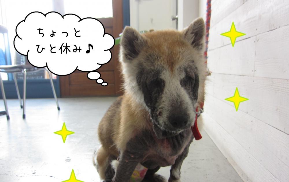 おすましひとやすみ柴犬