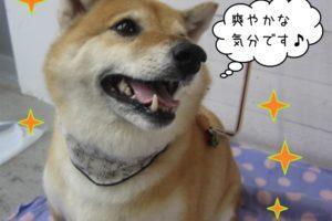 優しい笑顔柴犬