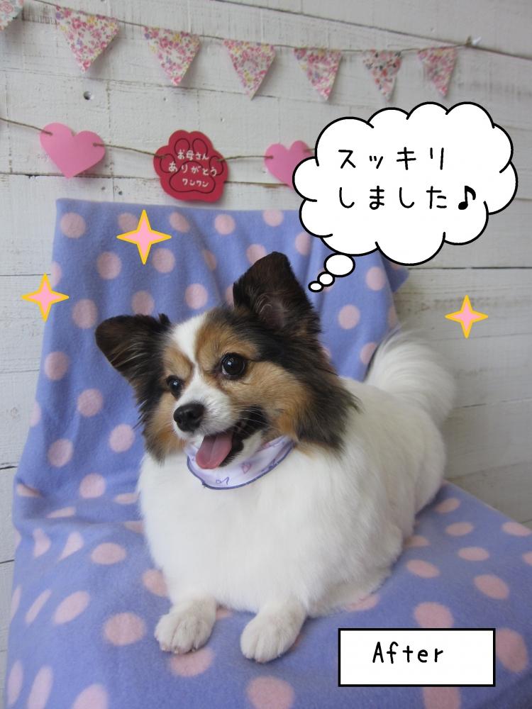 笑顔パピヨン
