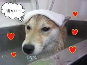 お風呂柴犬