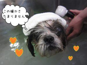 お風呂シーズー