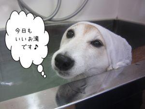 お風呂豆柴