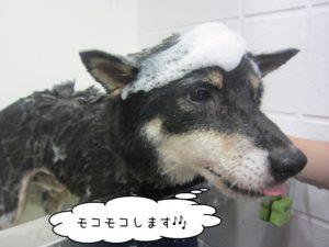柴犬のカールちゃんシャンプー