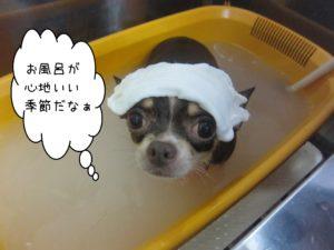 お風呂チワワ
