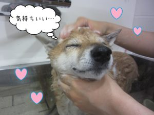 柴犬のメイちゃんシャンプー中