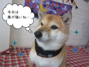 柴犬のメイちゃん施術後