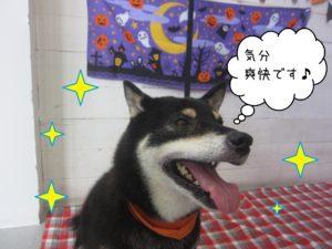 柴犬のカールちゃん施術後