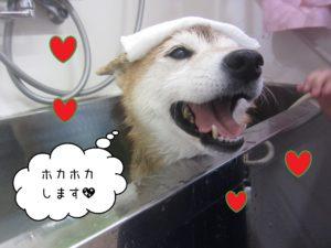 柴犬の華ちゃんスパ中