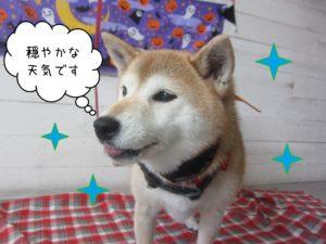 柴犬の華ちゃん施術後