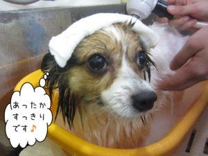 お風呂パピヨン
