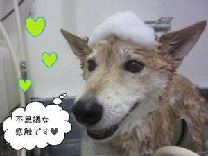 柴犬のりーちゃんシャンプー中