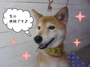柴犬のりーちゃん施術後