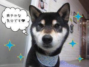 柴犬の吉助ちゃん施術後