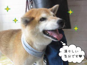 柴犬のポロちゃん施術後