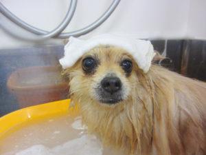 お風呂ポメ