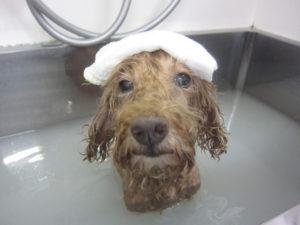 お風呂トイプー