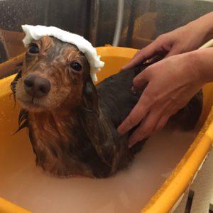 お風呂ダックス